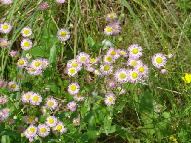 Philly_Fleabane.JPG